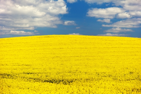 napus: field of rapeseed  brassica napus  plant for green energy