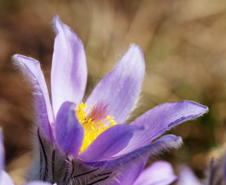 springy: beautiful blue and yellow early springy flower of pasqueflower on the meadow