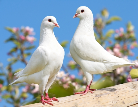red white blue: two white pigeon on flowering background  imperial pigeon  ducula Stock Photo