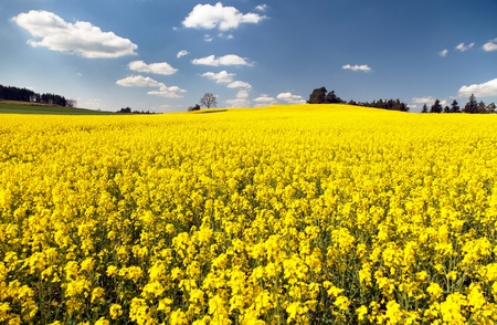 napus: view of flowering field of rapeseed  brassica napus  plant for green energy and oil industry Stock Photo