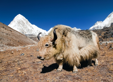 Yak on the way to Everest base camp and mount Pumo ri  Nepal