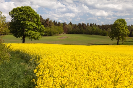 flowering field: view of flowering field of rapeseed  plant for green energy  panoramic view