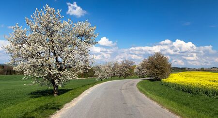 cherrytree: oad and alley of flowering cherrytrees with beautiful sky