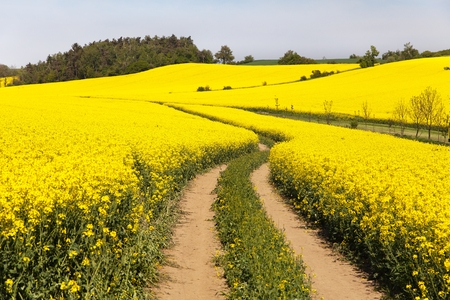 Field of rapeseed brassica napus  plant for green energy and green industry photo