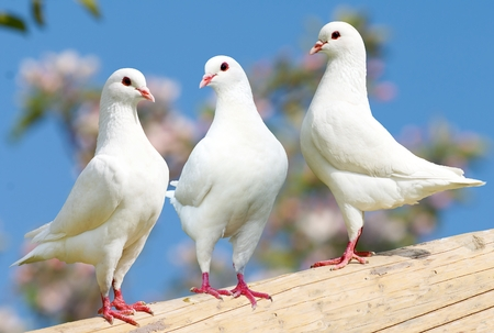 turtles love: Three white pigeon on flowering background  imperial pigeon  ducula Stock Photo