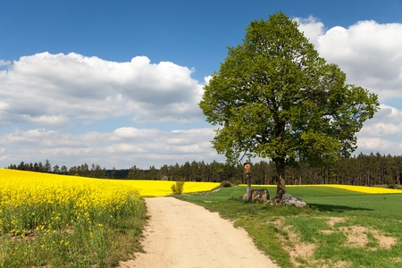 basswood: View of way between rapeseed field and lime tree with crucifix and beautiful clouds  brassica napus  plant for green energy and oil industry
