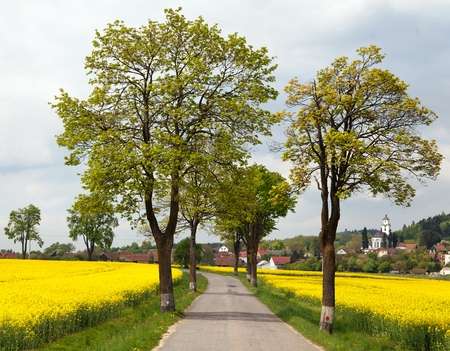 rapaseed: road with village  lime trees and rapeseed field