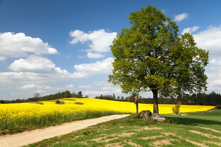 coleseed: View of way between rapeseed field and lime tree with crucifix and beautiful clouds  brassica napus  plant for green energy and oil industry