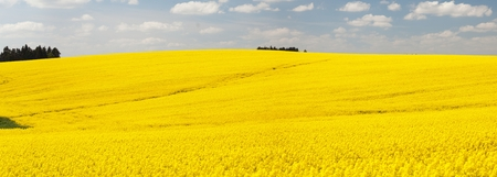 flowering field: Panoramic view of flowering field of rapeseed - brassica napus - plant for green energy and oil industry