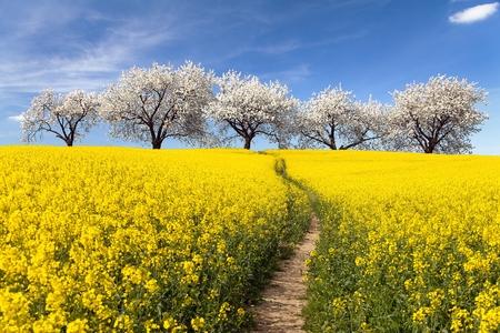 cereza: Campo de la rabina con parhway y el callej�n de la floraci�n de cerezos - Brassica Napus - planta de energ�a verde y la industria petrolera