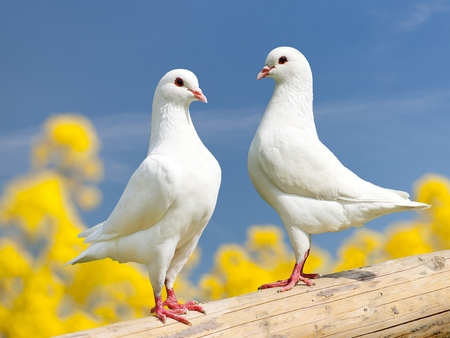 Beautiful view of two white pigeons on perch with yellow flowering background, imperial pigeon, ducula