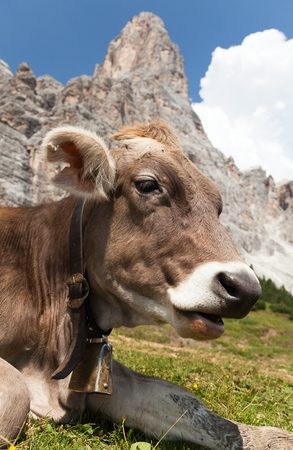 tinker bell: cow bos Taurus on mountain laying on meadow with bell near Monte Pelmo, Dolomites, Italy