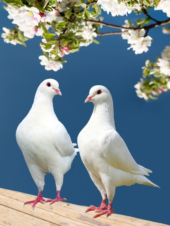 doublet: two white pigeon on flowering background - imperial pigeon - ducula