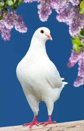turtles love: Beautiful view of one white pigeon on perch with flowering lilac tree background, imperial pigeon, ducula