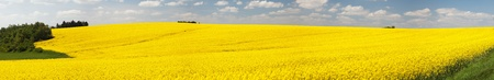 champ de fleurs: Panoramic view of flowering field of rapeseed - brassica napus - plant for green energy and oil industry