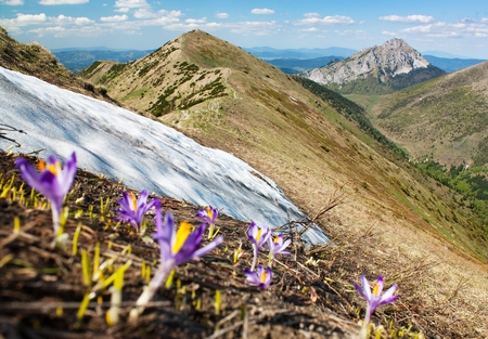 croci: Springtime view of flowering crocuses - Mala Fatra Mountains and mount Rozsutec - Slovakia