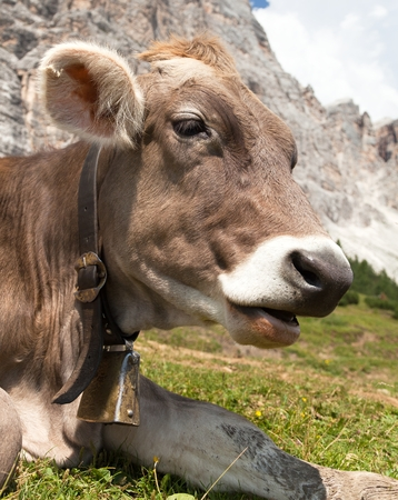 tinker bell: head of cow bos primigenius taurus, with cowbell Stock Photo