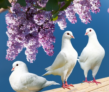 pecker: Beautiful view of three white pigeons on perch with flowering lilac tree background, imperial pigeon, ducula