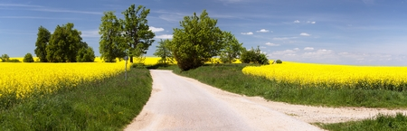 napus: field of rapeseed brassica napus with rural road way and small forest - plant for green energy and oil industry