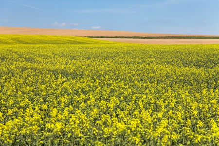 rappi: field of rapeseed with blue sky - plant for green energy and oil industry Stock Photo