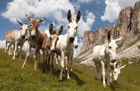 ears donkey: Group of Donkey Equus africanus asinus on mountain in Italien Dolomites
