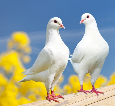 white perch: Beautiful view of two white pigeons on perch with yellow flowering background, imperial pigeon, ducula