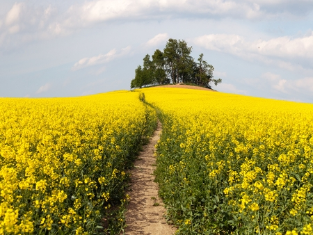 flower fields: field of rapeseed brassica napus with path way and small forest - plant for green energy and oil industry