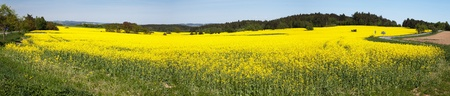 napus: Panoramic view of flowering field of rapeseed - brassica napus - plant for green energy and oil industry