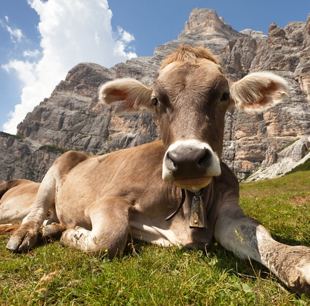 bos: cow bos Taurus on mountain laying on meadow with bell near Monte Pelmo, Dolomites, Italy