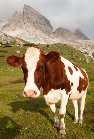 tinker bell: cow bos primigenius taurus on Dolomities, Italy Stock Photo