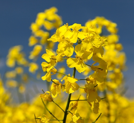 brassica: detail of flowering rapeseed - Brassica Napus - plant for green energy and oil industry