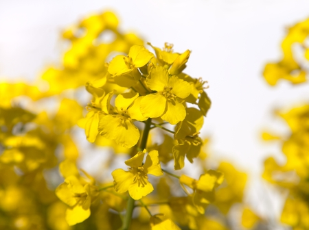 napus: detail of flowering rapeseed on white background - Brassica Napus - plant for green energy and oil industry