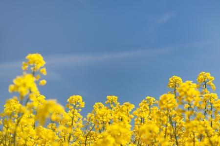 campo de flores: floraci�n fondo - colza amarillo y azul cielo