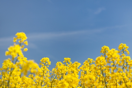 flowers field: flowering background - yellow rapeseed and blue sky