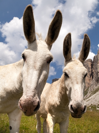 tinker bell: Group of Donkey Equus africanus asinus on mountain in Italien Dolomites