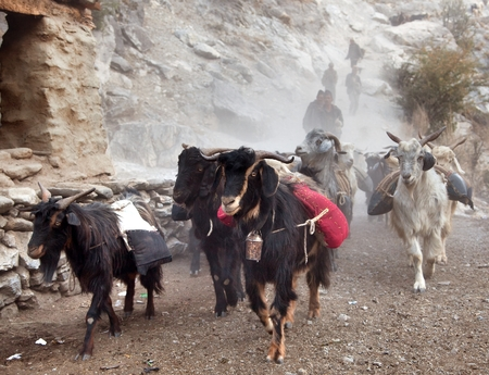 indigene: beautiful caravan of goats in western Nepal with goods going from Simikot area