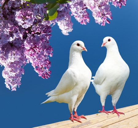 white perch: Beautiful view of two white pigeons on perch with flowering lilac tree background, imperial pigeon, ducula