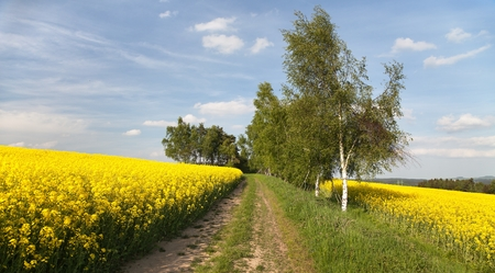 brassica: Field of rapeseed brassica napus with rural road - plant for green energy and green industry Stock Photo