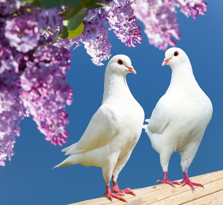 Beautiful view of two white pigeons on perch with flowering lilac tree background, imperial pigeon, ducula
