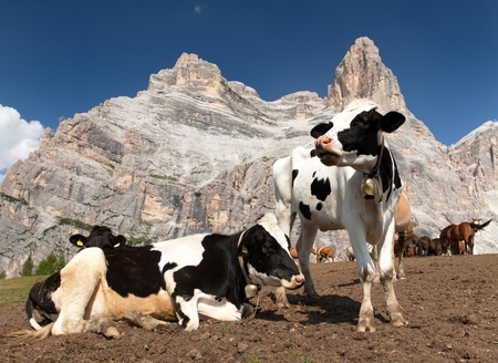 tinker bell: herd of cows bos Taurus on mountain laying on meadow with bell near Monte Pelmo, Dolomites, Italy