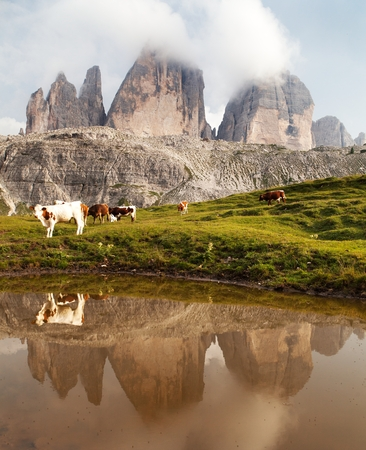 mirroring: view of mount Tre Cime or Drei Zinnen with cows mirroring in lake - Italian dolomites