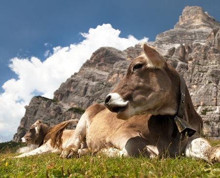 tinker bell: head of brown cow bos primigenius taurus with cowbell under Monte Pelmo, Italy