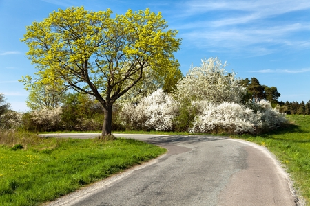 blossoming yellow flower tree: Springtime view, road and flowering trees Stock Photo