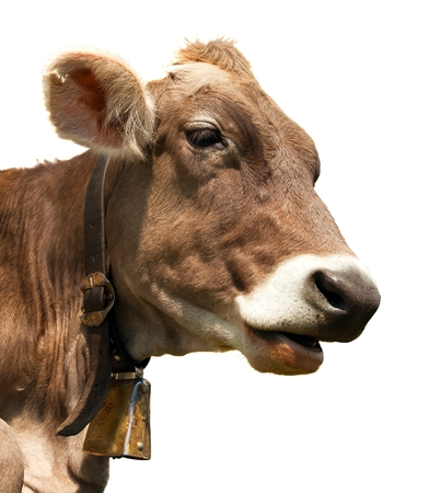 bos: head of brown cow bos primigenius taurus with cowbell isolated on white background Stock Photo