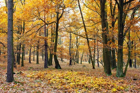 hued: view from autumnal hardwood forest - oak trees Stock Photo