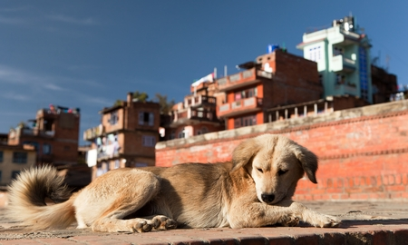 home life: dog in Bhaktapur city. Asian cities is full of wild dogs Stock Photo