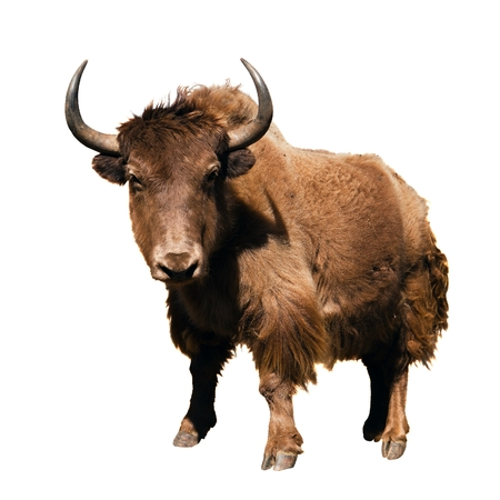 brown yak Bos mutus isolated on white background Stock Photo
