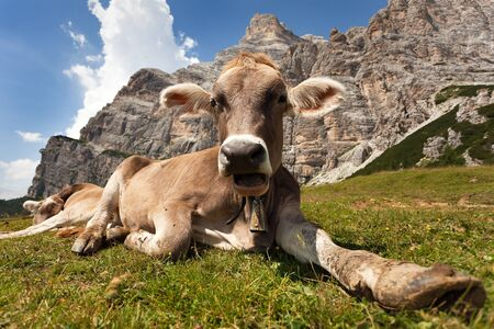 bos: head of brown cow bos primigenius taurus with cowbell under Monte Pelmo, Italy