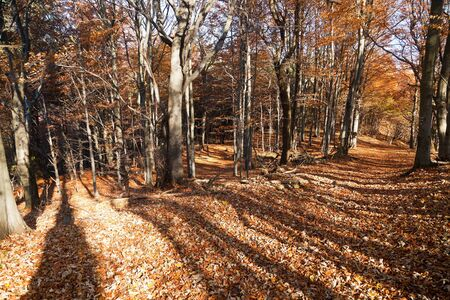 broad leaved tree: view from autumnal hardwood forest - european beechs fagus sylvatica Stock Photo
