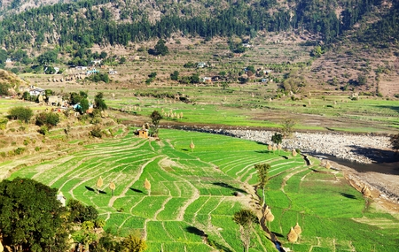 terraced field: green terraced paddy field in nepal